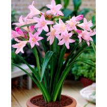 Amarcrinum 'howardii pink'