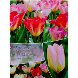 Changing Colour 'Flaming Purissima' Tulipán kollekció