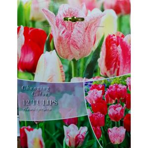 Changing Colors 'Hemisphere' Tulipán kollekció